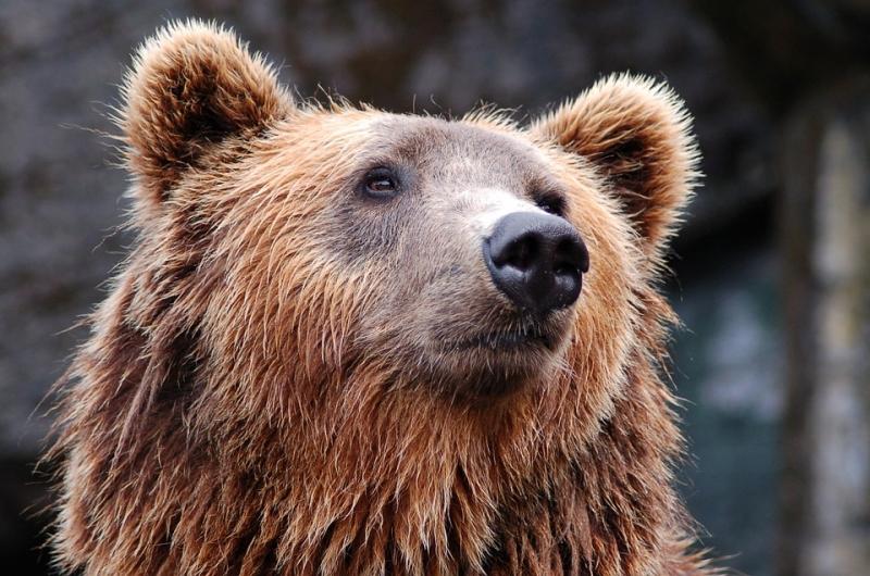 Врусских традициях: появилось видео, как наЯмале мужчина «оседлал» медведя