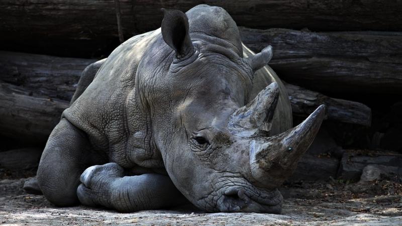 Двое граждан России попытались вывезти в КНР рога носорога на10 млн руб.