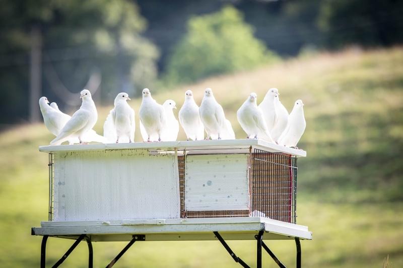ВЖелезноводске запустили внебо голубей сименами героев