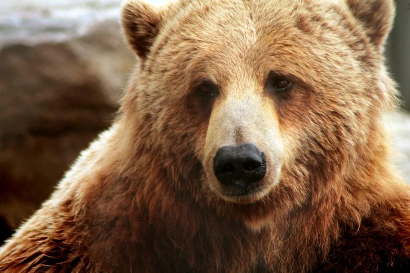 Семья изЕкатеринбурга встретила медведя напикнике