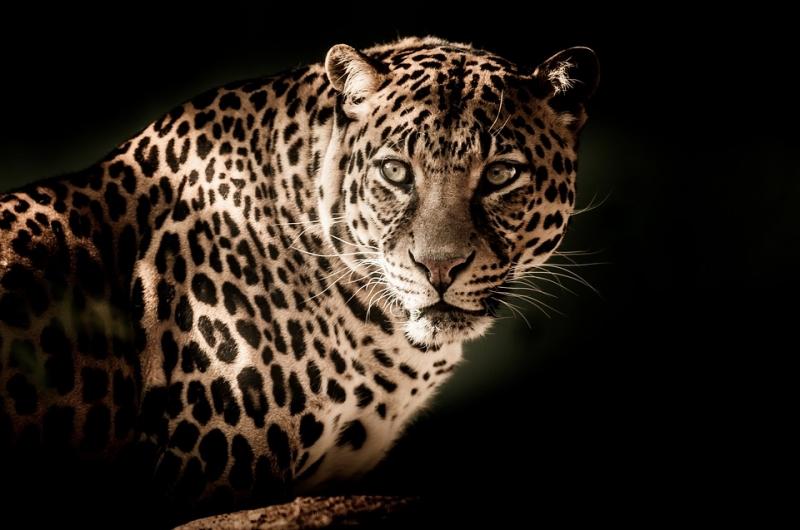 ВБогдановиче через Интернет торговали краснокнижными леопардами, филинами итритонами