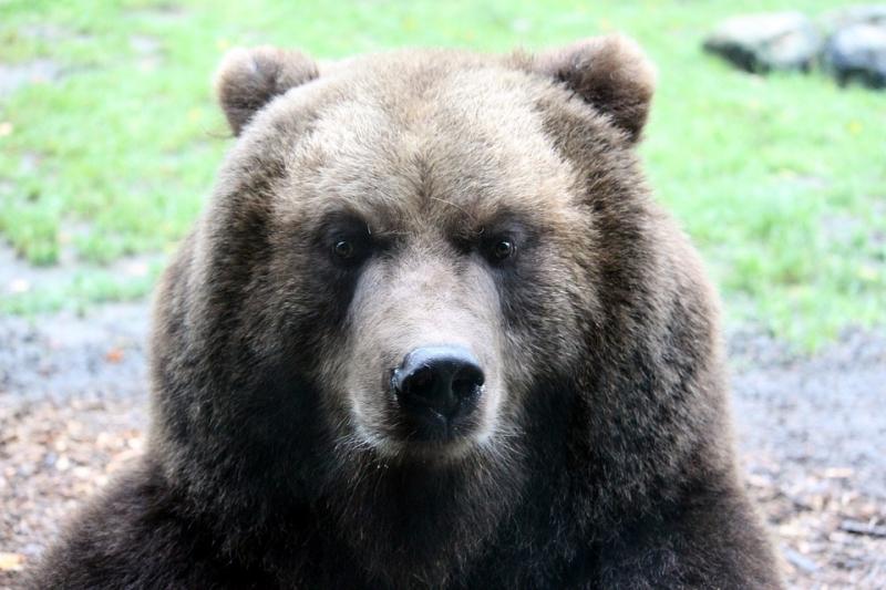 НаЯмале вберлоге медведя отыскали останки пропавшего мужчины