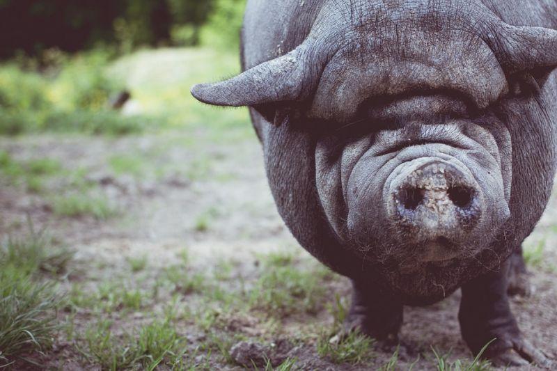 НаСреднем Урале введён карантин поафриканской чуме свиней