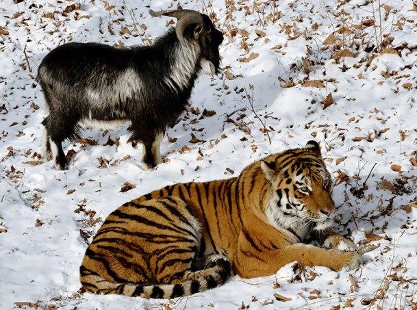 козел и тигр амур съел видео